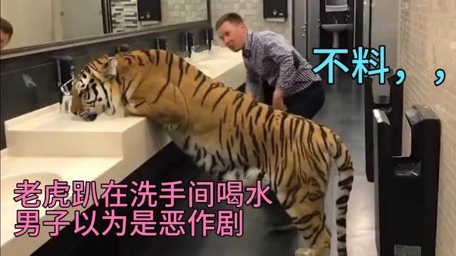 老虎趴在洗手間喝水,男子以為是惡作劇!