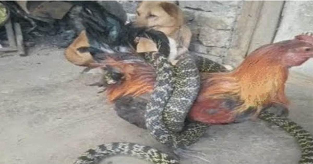 太霸氣了!母雞大戰眼鏡蛇,幾番博鬥後直接將蛇一口生吞