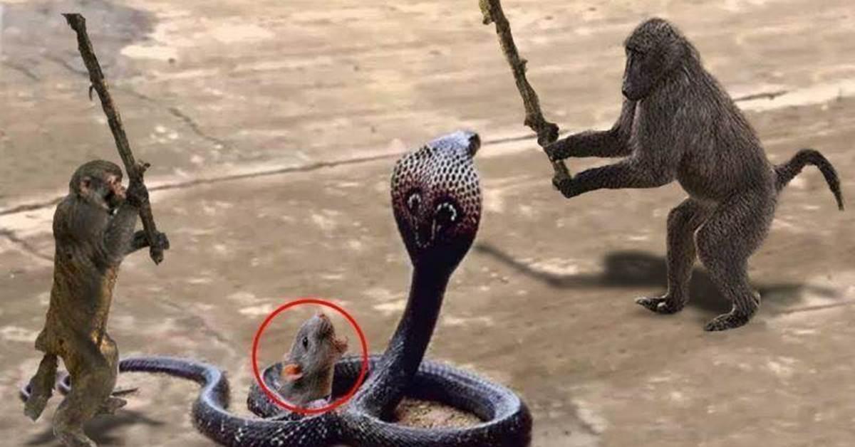 猴子大戰眼鏡王蛇,難得一見猴子與蛇之間的激烈戰鬥,鏡頭記錄全過程